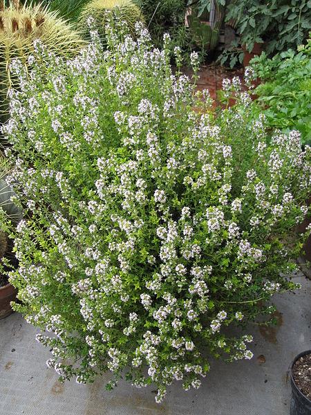 Timo maggiore (Thymus vulgaris)