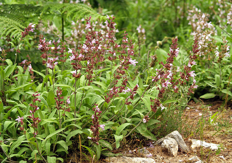 Salvia domestica (Salvia officinalis)